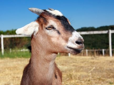Как ФЛП в 1ДФ отразить доходы от закупки продукции животноводства у населения