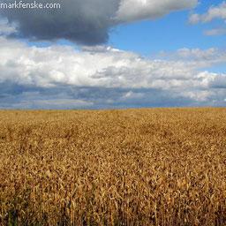 Рынок зерновых и масличных: цены и тенденции (12.05-19.05)
